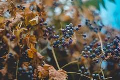 Blue/Purple/Violet Berries (bluishgreen12) Tags: autumn leaves brown rusty bush berries blue purple violet season fall vintagelens vintageprime porstcolorreflex fuji fujifilm bokeh gandem bih bosnia nature naturebokeh naturephotography