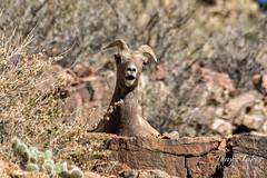 Bighorn Sheep ewe striking a pose