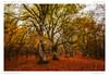 Hêtraie d'Allagnat (BerColly) Tags: france auvergne puydedome allagnat hetraie foret automne feuillage feuille arbres trees leaves bercolly google flickr