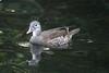 Pheonix Park (AO'Brien) Tags: pheonix park bird wildlife waterfoul nature ireland