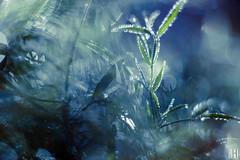 sparkling dew (gregor H) Tags: frastanz vorarlberg österreich at spirit nature blue deep morning dew close condensation fresh macro water drops gota bokeh ink reflection dream shine liquid macromondays leitzcolorplan2590 pprowinner