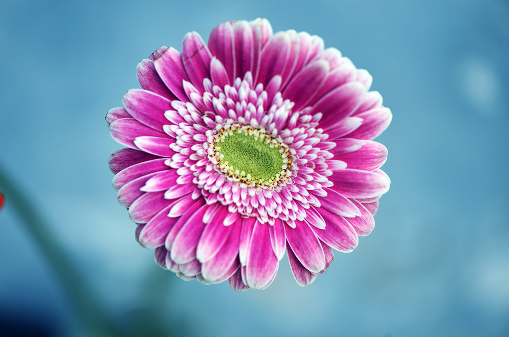The World S Best Photos Of Fleur And Gerbera Flickr Hive Mind