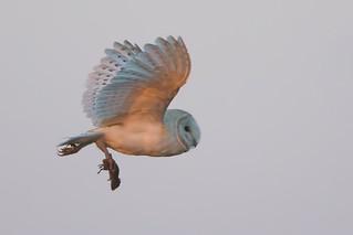 Late evening Barn owl