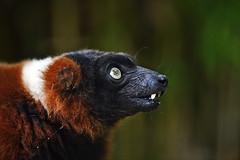 Roter Vari (Michael Döring) Tags: gelsenkirchen bismarck zoomerlebniswelt zoo rotervari lemure afs300mm40d d850 michaeldöring inexplore