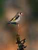 European goldfinch (Zahoor-Salmi) Tags: zahoorsalmi salmi wildlife pakistan wwf nature natural canon birds watch animals bbc flickr google discovery chanals tv lens camera 7d mark 2 beutty photo macro action walpapers bhalwal punjab