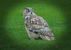 IMG_0624 (bob_rmg) Tags: perrow arboretum tree autumn colour leaves bedale thorp eagle owl bird