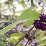 American beautyberry thumbnail