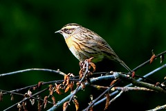 Rufous-breasted Accentor - Western Himalayas (forest venkat) Tags: bird woof forest accentor photo love animal zoo king wild tree leaf woo macro bug ladybug insect spider beetle mud caterpillar lovebirds butterfly landscape wildlife jungle nature shore grassland dragonfly damselfly butterflywatching roberfly picture image birdwatching calotes gardenlizards lizards reptile landscapephotography panoramic panorama panoramicview light clouds lakelugano lugano mountainphotography mountain europe travel europetravel wood himalayas