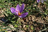 Zafferano (svlsrg) Tags: zafferano bagnacavallo 2017 svlsrg giardinodeisemplici