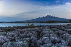 大石公園 (Raymond.Ling.43) Tags: 河口湖 japan spring reflection mtfuji may canon 6d lake 湖泊 風景 水 山 bluehour 大石公園