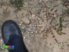 Eight-armed Luidia sea star (Luidia maculata) (wildsingapore) Tags: changi carpark1 echinodermata asteroidea luidia maculata island singapore marine intertidal shore seashore marinelife nature wildlife underwater wildsingapore