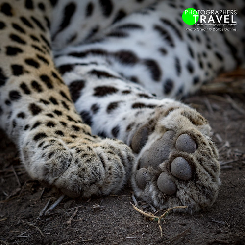 Leopard - Sabi Sabi 2016