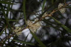 Hakea laevipes flowers (dustaway) Tags: proteaceae hakea hakealaevipessubsplaevipes australianshrubs flowers whiteflowers australianflora australianflowers flaggycreeknaturereserve oraravalley clarencevalley northernrivers northcoastbotanicalsubdivision nsw nature australia