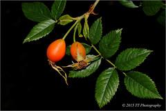 Rosa mosqueta (T.I.G. Foto Digital) Tags: rosamosqueta naturaleza bosque frutas arbustos verde hojas arboles rojo nikon d3000 españa