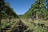 Sulle colline gattinaresi (STE) Tags: vigna vigne vigneto vite viti vigneti vineyard vineyards uva grapes autunno autumn filari gattinara bunch bunches grappolo grappoli
