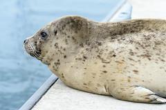 20170925-Seals CapSante-1216 (Ding Zhou) Tags: anacortes capsantemarina usa washington boating seal
