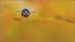 Globular Springtail