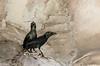 Asian Glossy Starling  Aplonis panayensis (hayastanlover) Tags: maleisië malaysia