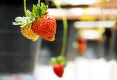 Strawberry (ClickSnapShot) Tags: ilobsterit strawberry strawberryplantation plants red strawberries cameronhighland strawberryfarm malaysia delicious