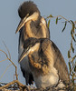 Whats for lunch? (paul.ralphs) Tags: heron birds babies africa waterbirds lakes nature nesting nest birdlife canon7d