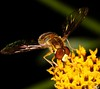 Fly (Paulo Mattes) Tags: fly flowers flyes flower flor flickr flores inseto instagram insects insect insetos biologia biologic canon canont5i canonbrasil naturelovers nature natgeo natureza mosca mosquito