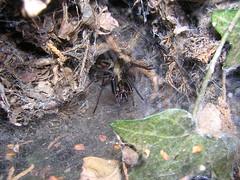 Arachtober 20 (b) (Procrustes2007) Tags: spider arachnid arachtober eratigenasp atricagroup macro nikond50 nikkor50mmais tamron2xteleconverter vivitarextensionrings68mmtotal flash greatcornard suffolk uk britain england