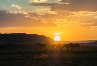 African Safari. Sunset with zebras.