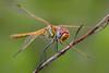 entero y mirando (Santi BF) Tags: sympetrumfonscolombii sympetrum bicho bug libélula libèl·lula dragonfly aproximación anisóptero anisoptera odonato odonata macro closeup