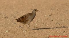 Corn Crake-Crex crex (tonydawe1) Tags: desert dubai corncrake wildlife canon 1d 4oo lens uae betterbirdphotography crexcrex