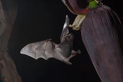 Common Long-tongued Bat (Chris Jimenez Nature Photo) Tags: night action nature jose bat longtongued common wild life workshops rica dark photography costa soricina chris san glossophaga jimenez bats