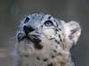 Looking Up [In Explore 10/27/17] (greekgal.esm) Tags: snowleopard cub pantherauncia babyanimal cat feline animal mammal carnivore losangeleszoo lazoo losangeles griffithpark sony rx10m3 rx10iii meru