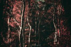 Primal Woods (Simmie | Reagor - Simmulated.com) Tags: 2017 connecticut connecticutphotographer fall fallcolor fog landscape landscapephotography litchfield litchfieldcounty littlepondboardwalktrail marsh mist morning nature naturephotography newengland outdoors saltmarsh september sunrise unitedstates wetland ctvisit digital https500pxcomsreagor httpswwwinstagramcomsimmulated whitememorialconservationpreserve wwwsimmulatedcom