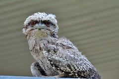 DSC_0040 (RUMTIME) Tags: frogmouth birds bird feathers flight queensland coochiemudlo coochie owl coth