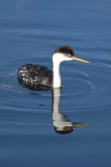 Western grebe (Expially) Tags: whiterock bc britishcolumbia bird seabird grebe westerngrebe