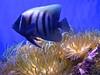 Colour Contrast (Padmacara) Tags: australia sydney g11 fish blue orange anemone aquarium