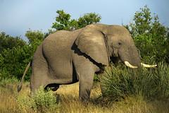 DSC01466 (deepchi1) Tags: africa botswana okavangodelta wildlife gameviewing gametracking biggame safari elephant elephants pachyderms herd trunk tusk bigfive