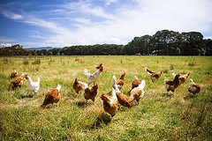 Chickens In A Field (Plant.ai) Tags: bird agriculture animal australia beak brown chicken country countryside environment farm farming farmyard feather feeding field flock food free grass hen livestock meadow meat natural nature organic outdoors outside poultry range rooster rural spring victoria