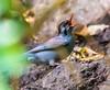Black bulbul (Mohsan Raza Ali Baloch) Tags: wild wildlife nature naturelover wildlifelover islamabad pakistan birds colors color bird migratory