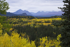Alaskan Autumn (right2roam) Tags: alaska denali nationalpark autumn alaskarange fall colors nenana river valley mountains right2roam birch yellow