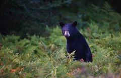 Black Bear Yearling (ashockenberry) Tags: bear black nature naturephotography yearling wildlife ontarionature ontariowildlife ursusamericanus algonquinpark