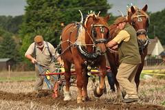 Essex Hawkwell (daveknight1946) Tags: greatphotographers heavyhorse horse essex hawkwell ploughing