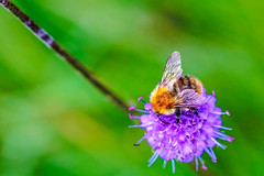 BEE-n pole (I was blind now I see!) Tags: bee nature insect bokeh flower botanical wild closeup macro