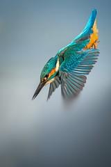 Kingy (Jez Nunn) Tags: kingfisherflyingbirdsflightwildlifenatured7200warnhamlnr