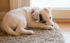 Maddy, 9 weeks old, munching carpet (marylea) Tags: puppy parsonrussellterrier parsonrussell terrier maddy dog sep7 2017 9weeksold jackrussellterrier jrt prt explore explored jackrussell