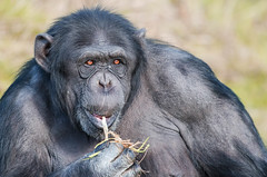 Chimpanzee portrait (Andrew Oxley) Tags: chimp portrait chimpanzee monkey sharp cute funny eyes intelligent politician ape beast animal