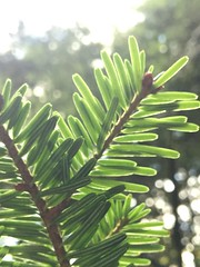 (luciereininger) Tags: macro holiday needles blackforest schwarzwald trees tree woods wood forest