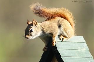 Apr 23-17 Red Squirrel (Pesky) (9)