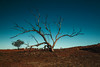 Every tree tells a story (erglis_m (Mick)) Tags: australianlandscape australianoutback tanamidesert tanami theoutback theaustralianoutback landscape reddirt redearth tree canoneos5dmkiii centraldesert colour dead