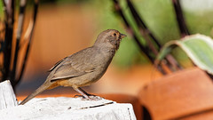 California Towhee (Life of David) Tags: california californiatowhee camarillo canon5dmarkiv melozonecrissalis usa wildlife backyard beautiful beauty bird cute nature pretty