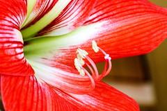 Détails d'une fleur de Lilium (Christian Chene Tahiti) Tags: canon 7d pirae lilium color couleur fleur fleurdepolynésie fleurdesîles fleurdetahiti flore floredepolynésie floredetahiti flores flower blanc closer closeup leave vert macro nature polynésie polynésiefrançaise tahiti rose rouge red pollen bokeh plante extérieur
